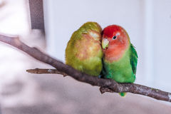 Lovebirds perched on a branch Stock Photo