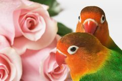 Lovebirds and pink roses. Pair of little lovebirds and pink roses Royalty Free Stock Photo