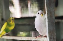 Lovebirds sitting in a cage. Photograph captured while on a vacation in Coorg, Karnataka, India Stock Photos
