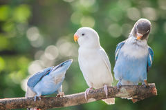 Lovebirds standing on the tree in garden on blurred bokeh background Stock Photo