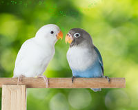 Lovebirds talking on the perch with heart shaped musical notes on blurred green bokeh background. Blue and white lovebird talking on the perch with heart shaped Stock Photo