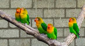 Lovebirds together on a branch with one close couple, tropical and colorful small parrots from africa. Family of lovebirds together on a branch with one close royalty free stock photo
