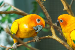 The lovebirds on the tree. Lovebirds on the tree at the zoo Royalty Free Stock Images