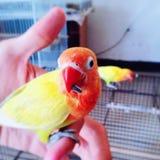 Lovebirds uczą się jeść Zdjęcia Royalty Free