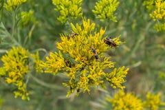 Lovebugs på blommor Arkivfoto