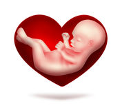 Loved child. Red heart with human embryo inside Royalty Free Stock Photos