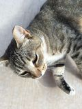Misty, 11 year old feral cat who resides in Kanab Utah royalty free stock image