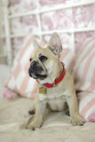 Loveley puppy french bulldog laying on a sofa. With pillows Royalty Free Stock Photography