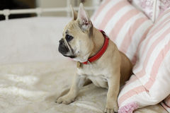 Loveley puppy french bulldog laying on a sofa. With pillows Stock Photo