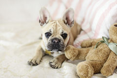 Loveley puppy french bulldog laying on a sofa. With pillows Royalty Free Stock Photo