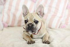 Loveley puppy french bulldog laying on a sofa. With pillows Royalty Free Stock Photos