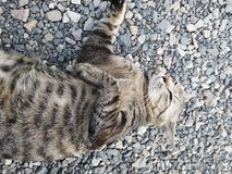 Lovely animal Bengal House Cat. Lovely animal bengal house cat royalty free stock photos
