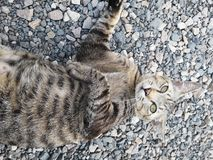 Lovely animal Bengal House Cat. Lovely animal bengal house cat royalty free stock image