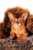 Lovely abyssinian kitten portrait Stock Photo