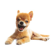 Lovely acting of pomeranian puppy dog isolated whtie background Stock Photos