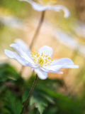 Lovely Anemone Stock Photography