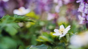 Lovely Anemone Royalty Free Stock Image