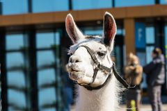 Lovely animal llama on the street near the exhibition center. Opposite the exhibition center behind the fence is a beautiful animal llama with beautiful eyes Royalty Free Stock Image