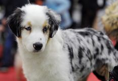 Lovely animals at the dog show. Australian Shepherd at dog show, Moscow royalty free stock photo