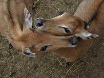 Lovely Antelope. African, animal, antelope, biology, herbivore, horns, mammal, nature, wildlife, zoo, zoology Stock Photo