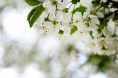Lovely apple blossom Royalty Free Stock Photo