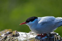 Lovely Arctic Tern Sterna Paradisaea peched on wall in bright Sp. Beautiful Arctic Tern Sterna Paradisaea peched on wall in bright Spring sunshine Royalty Free Stock Photography