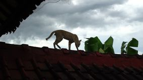 Lovely Asian red cat walking on the roof, indonesia bali island stock video footage