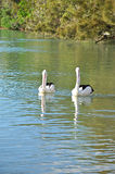 Lovely Australian Pelicans in the lake Stock Image