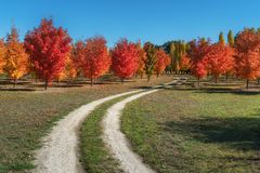 A lovely autumn maple trees on a dirt road in Roxburgh royalty free stock photography