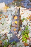 Lovely autumn salmon. Luxury fishing trophy from autumn lake. Male salmon (brown trout) in breeding coloration on bed of white lichen with yellow leaves Royalty Free Stock Photo
