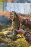 Lovely autumn salmon. Luxury fishing trophy from autumn lake. Male salmon (brown trout) in breeding coloration on bed of white lichen with yellow leaves Stock Image