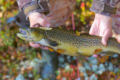 Lovely autumn salmon. Luxury fishing trophy from autumn lake. Male salmon brown trout in breeding coloration on bed of white lichen with yellow leaves Royalty Free Stock Photos