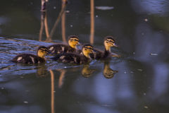 Lovely baby duck. These four lovely young ducks, they are mallard child, they are looking for mom Stock Photography