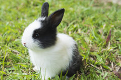 Lovely baby 2 weeks Thai rabbit Royalty Free Stock Images