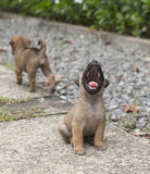 Lovely baby yawning dog. The portrait of the baby yawning dog outdoor Royalty Free Stock Photos