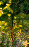 Red spider in the web on beautiful foliage bokeh. Lovely background with spider in the web on beautiful foliage bokeh Royalty Free Stock Photo