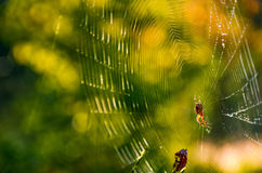 Spider in the web on beautiful forest bokeh. Lovely background with spider in the web on beautiful foliage bokeh Royalty Free Stock Photos