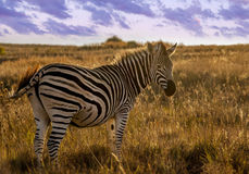 Lovely backlit Zebra at sunset Stock Photos