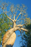 The lovely baobab Stock Image