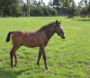 Lovely bay colt grazing royalty free stock image