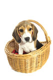 Lovely beagle Stock Images
