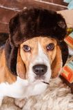 Lovely beagle dog in hat with ear flaps sits and looks to camera on New Year Eve, portrait close-up. Lovely beagle dog in russian style brown fur hat with ear Stock Photo