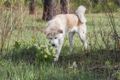 A lovely beautiful Japanese Akita Inu sniffs flowers of yellow snowdrops in the forest in spring among grass and trees. royalty free stock images
