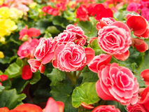 Lovely Begonia. Beautiful redheaded begonia flowers as floral background Royalty Free Stock Photography