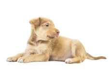 Lovely beige puppy Royalty Free Stock Images