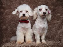 Lovely bichon couple with red and pink bowties sitting. On brown fur background, looking serious Stock Image