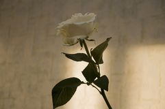 Lovely big creamy white flower rose. Green leaves and thorns. Still life. Contrast with lights and shadows, silhouette. Black, gre. Y and white colors royalty free stock photos