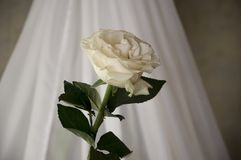 Lovely big creamy white flower rose. Green leaves and thorns. Still life. Contrast with lights and shadows, silhouette. Black, gre. Y and white colors royalty free stock photo