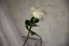 Lovely big creamy white flower rose. Green leaves and thorns. Still life. Contrast with lights and shadows, silhouette. Black, gre. Y and white colors royalty free stock image