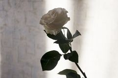 Lovely big creamy white flower rose. Green leaves and thorns. Still life. Contrast with lights and shadows, silhouette. Black, gre. Y and white colors stock photography